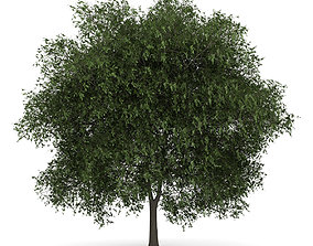3D English Oak 2 Quercus robur