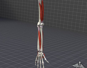 hand Human Arm Bone and Muscle Structure 3D model