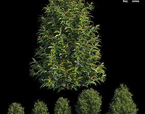 3D model garden Syzygium campanulatum