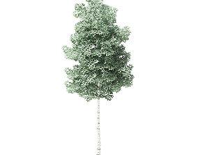Quaking Aspen Tree 3D Model 4m