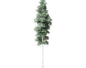 Quaking Aspen Tree 3D Model 13m
