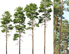 3D Pinus sylvestris Nr11 H17-22m Four tree set
