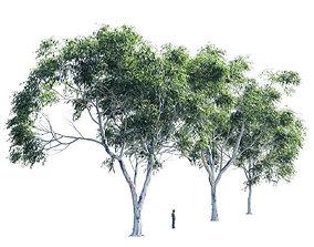 3D model Eucalyptus collection 2