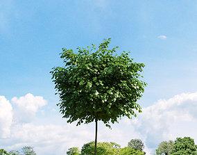 3D Robinia pseudoacacia 020 v1 AM136
