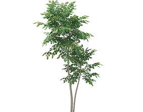 Pedunculate Oak Quercus Robur 3D model