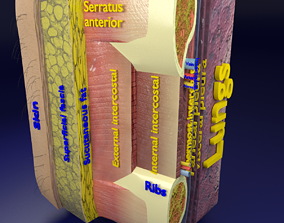 Thoracic wall layers 3D