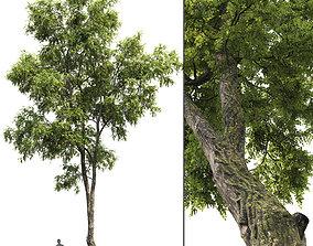 3D model Robinia Pseudoacacia H15m
