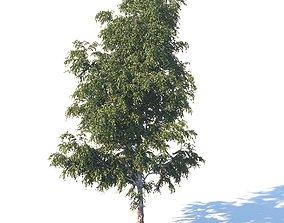 Summer birch 18 meters 3D model