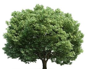 3D Mature Crack Willow Tree