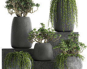 Crassula in a black flowerpots 810 3D