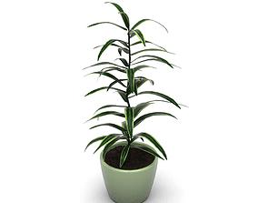 3D model Dracena Dracaena variegata