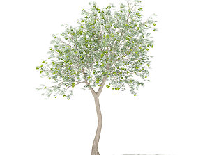 3D model Olive Tree with Fruits