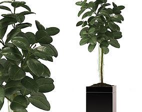 pot 3D RUBBER PLANT