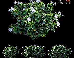 3D model Gardenia angustifolia merr Plant set 1