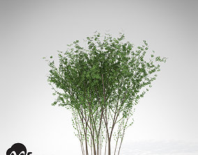 XfrogPlants European Spindle Tree 3D model