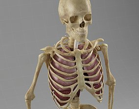 Anatomy Lungs Skeleton 3D