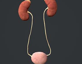 3D asset Urinary System