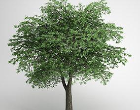 CGAxis Lebanon Cedar 22 3D model
