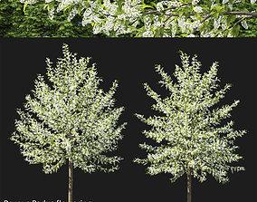 Prunus Padus 03 3D