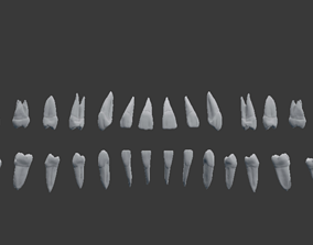 Human Teeth Highly Detailed 3D printable model