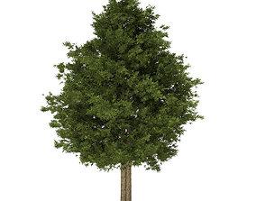 3D model European Yew Taxus baccata 13m