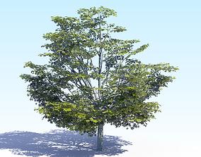 3D model Maple Acer Tree 05 ArchViz