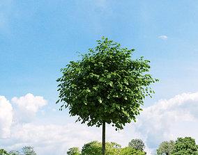 Robinia pseudoacacia 020 v2 AM136 3D model