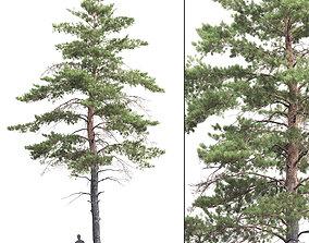 3D model Pinus Sylvestris 06
