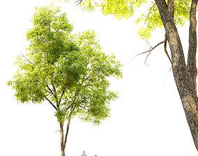 3D model Ash tree 7