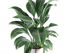 Plant 3D model strelitzia