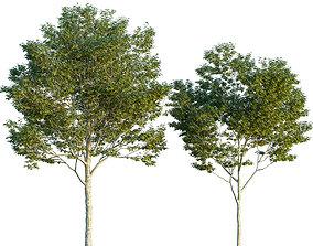3D model Platanus orientalis -Platanus acerifolia 03