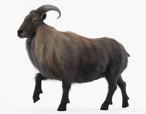 3D asset Himalayan Mountain Goat Rigged with Fur