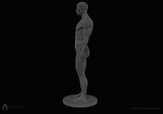 Male ecorche anatomy figure
