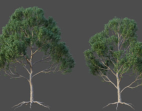 XfrogPlants Blue Gum - Eucalyptus Saligna 3D