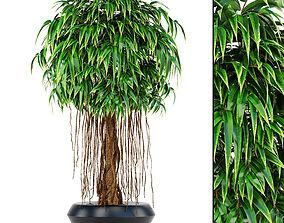 3D model Ficus Alii tree
