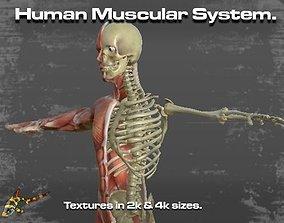 Human Muscular System 3D