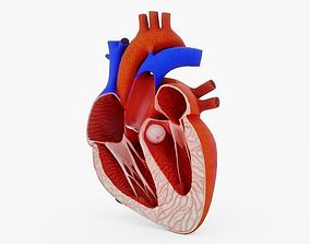 3D asset Human Heart Cross Section Anatomy
