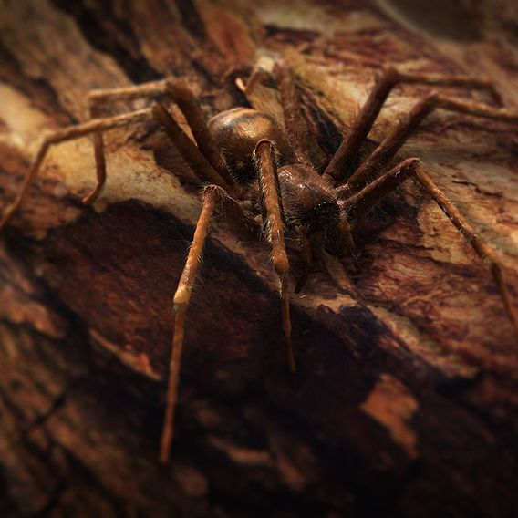 Tegenaria Domestica - The Domestic Spider