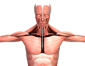 3D Realistic Human Male Muscular System Anatomy