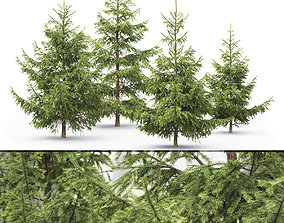 3D Picea 10
