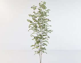3D model Fraxinus griffithii Tree 3
