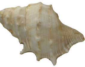 Seashell photoscanned model game-ready