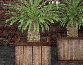 3D Cycas palm tree 1