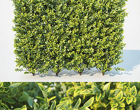 Ligustrum ovalifolium Nr1- modular hedge H110cm 3D