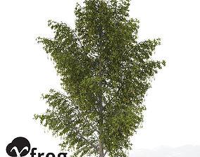 XfrogPlants Alpine Laburnum 3D