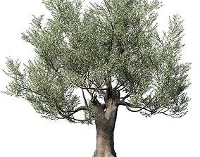 3D Olea europaea 2 branch