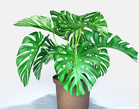 Cheese plant 3D model