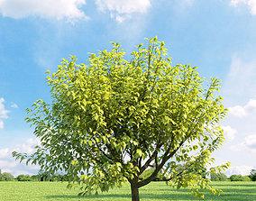 3D Prunus padus aurea 018 v1 AM136