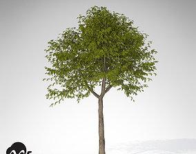 XfrogPlants Manna Ash 3D model