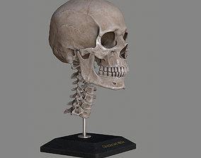 3D asset Human Skull Caucasian Male